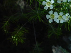 white, geraldton, wax, blooms, dark, background