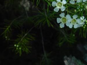 blanc, geraldton, cire, fleurs, sombre, fond