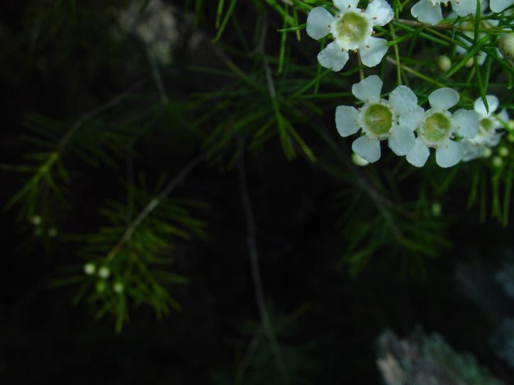 vit, geraldton, vax, blommar, mörk, bakgrund